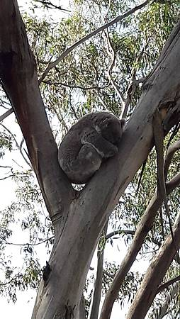 3.4-20160728-koala (5).jpg