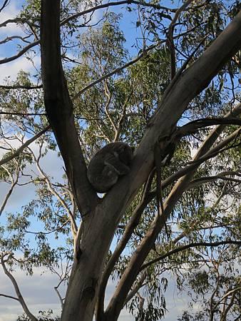 3.4-20160728-koala (25).JPG
