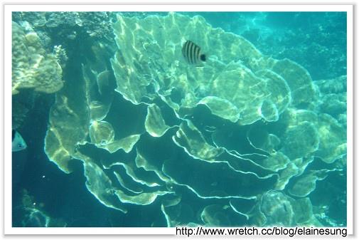 DSC03530硬珊瑚區-玫瑰.jpg
