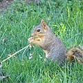 Y草的松鼠
