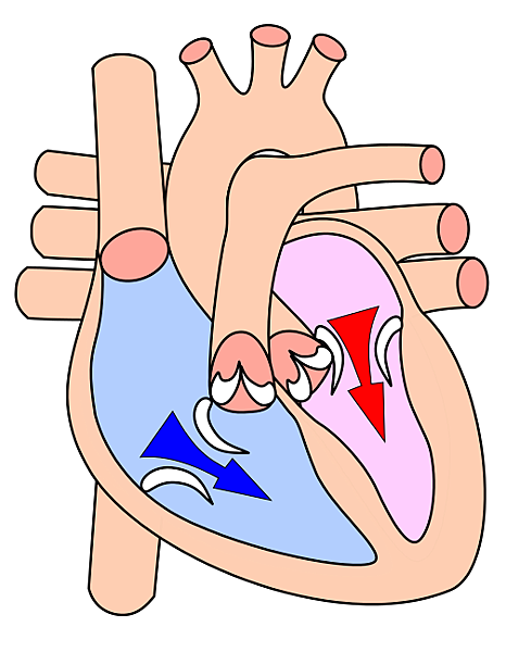 504px-Heart_diasystole.svg.png