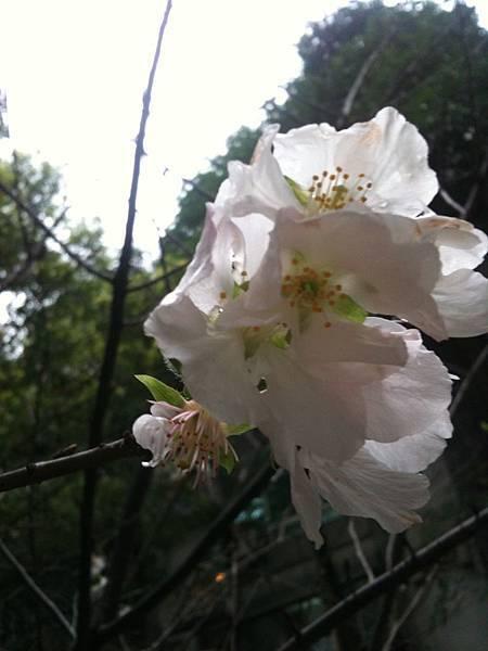 白色吉野櫻