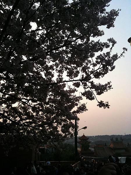 北新莊夕陽下的櫻