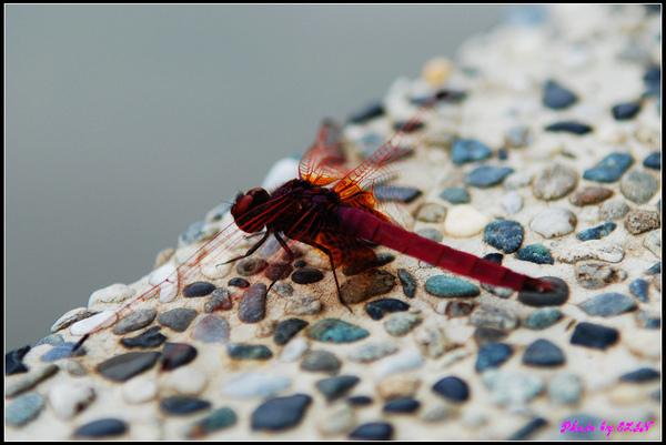 紙教堂-紅蜻蜓-1.jpg
