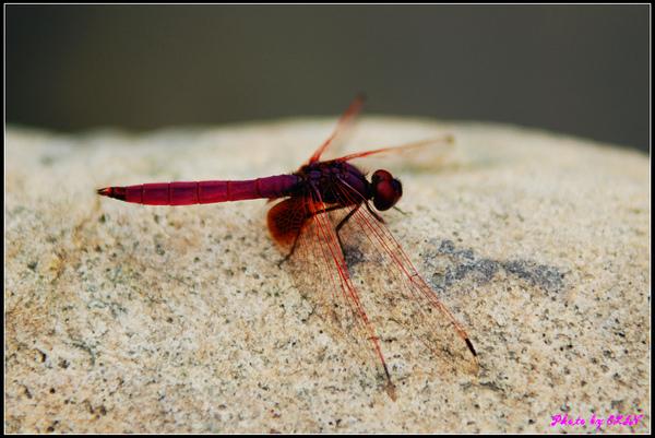 紙教堂-紅蜻蜓.jpg