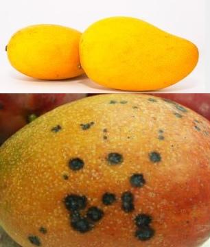 芒果的區分