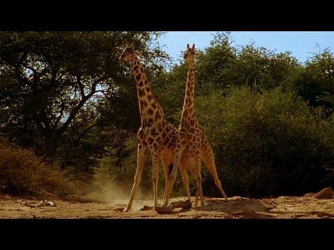 NTBlbTFyVjEyWDQx_o_giraffe-battle-africa
