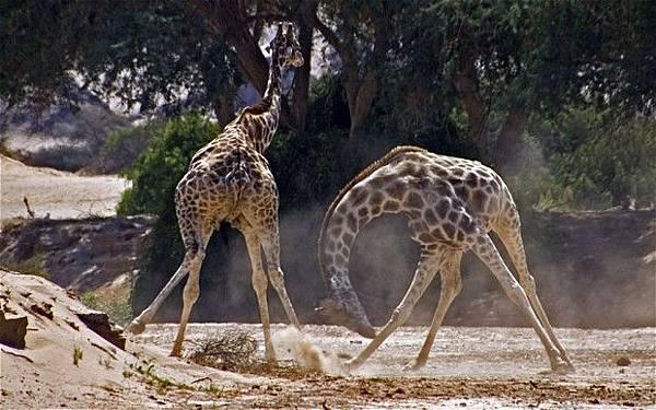 Giraffe_2428794b