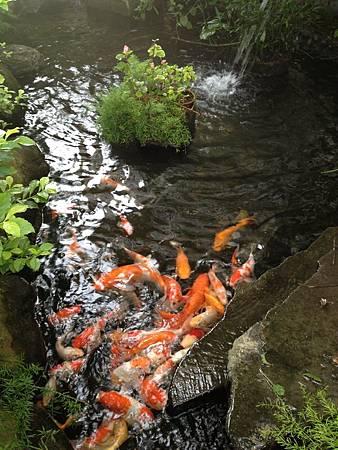 花蓮酒廠的鯉魚