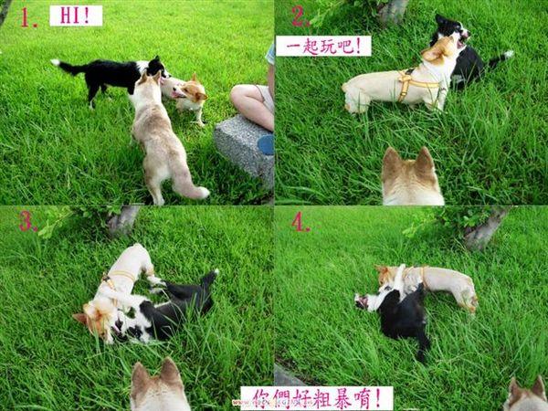 邊境牧羊犬+哈士奇-1.jpg