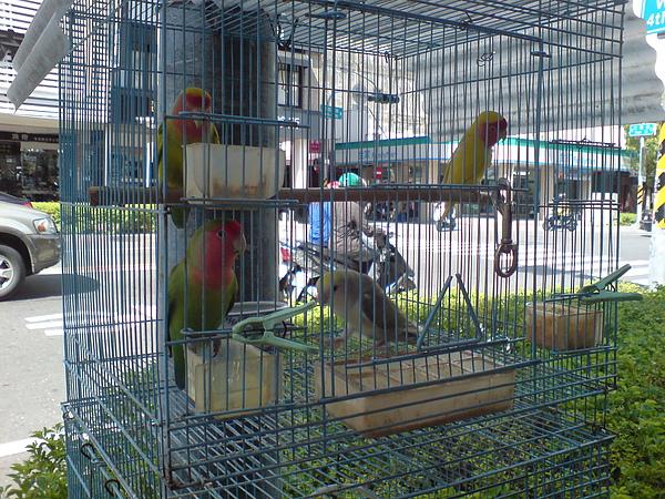 卡哇伊鸚鵡.JPG