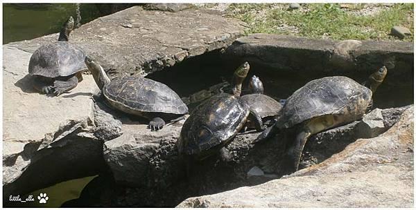 香格里拉樂園-烏龜.jpg