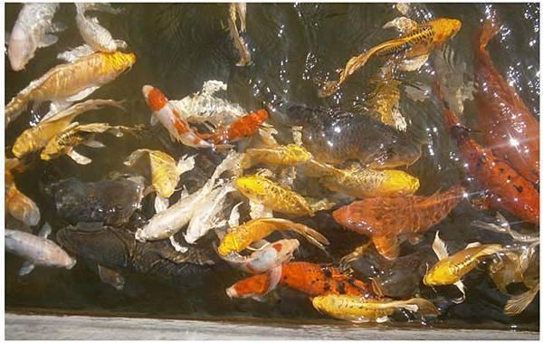 香格里拉樂園-魚池.jpg