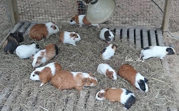 可愛動物區-天竺鼠.2.jpg