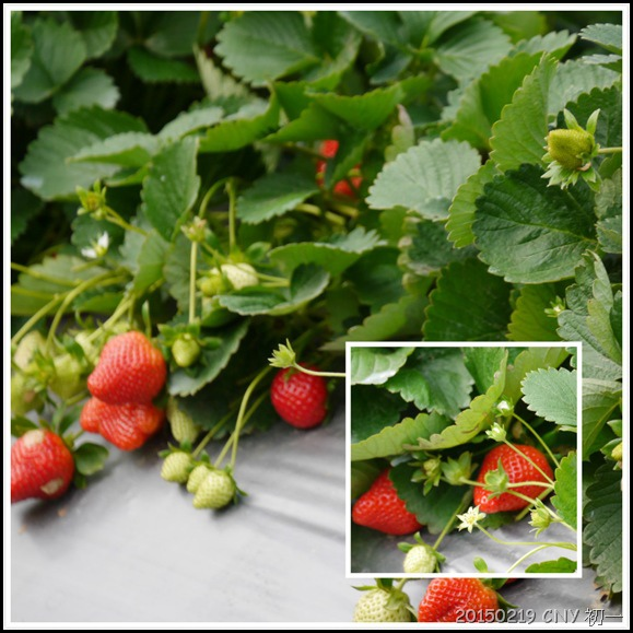心酸的草莓