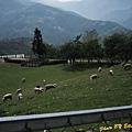 清靜農場旁的綿羊