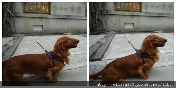 狗朋友~小短腿長毛臘腸