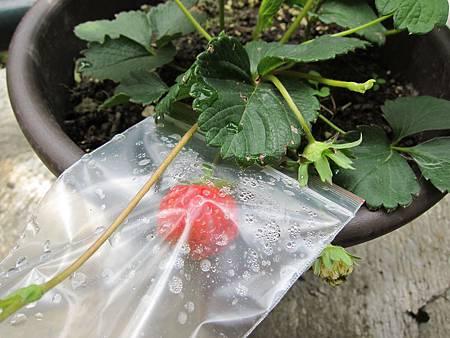 20110508_夾鏈袋好像可以促進草莓紅的速度!~