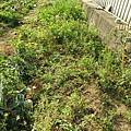原本就是這樣的雜草叢生... 看到的時候 我都傻眼:P