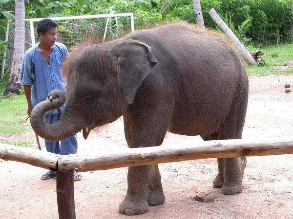Baby Elephant表演吹口琴