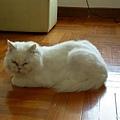 瑜珈中的貓式應該就是模仿喵咪這個動作,超難><