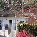 隔壁有顆漂亮的櫻花樹