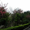 櫻花公園的櫻花真的開了!