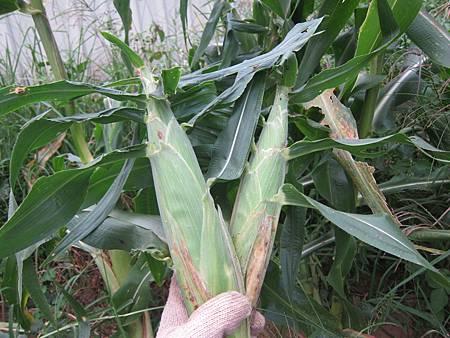 被我提早採收的玉米,其實要等葉片的頂端也乾乾的才是成熟的玉米
