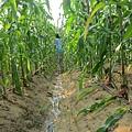 正在拔玉米筍的我! 真希望我也有這麼大一片玉米田~
