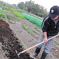 翻進土裡當基肥