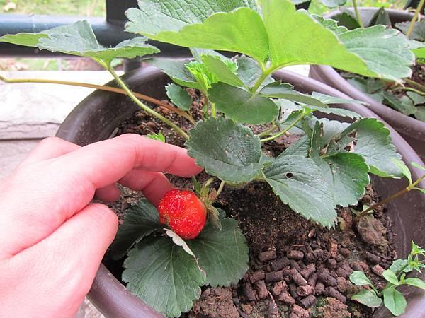 20110428_草莓紅了!:)