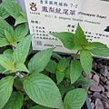 鳳梨鼠尾草