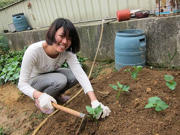 跟鄰居借蕃薯葉來仟插