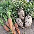 20110421_收成白蘿蔔+間拔紅蘿蔔