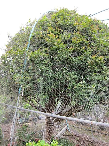 超大樹葡萄樹
