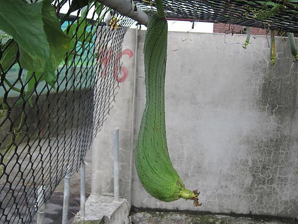 門口的絲瓜