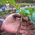 20110220_白蘿蔔需要很大的生長空間,適當的箭拔是一定要的~