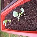 20101110_移植菜苗