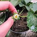 20110324_有機草莓老闆送的苗很快就開花了