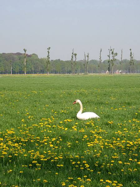 田野間的白天鵝