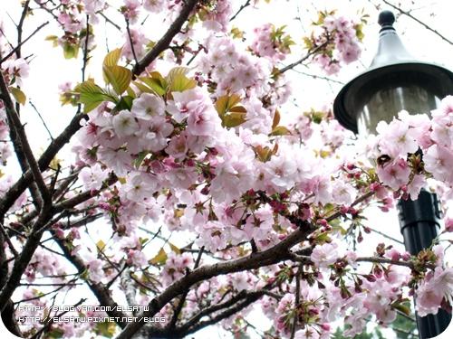 阿里山櫻花季090322(02).jpg