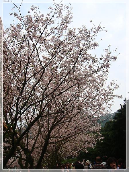 走道滴櫻花.JPG