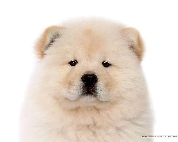 松獅犬-19.jpg