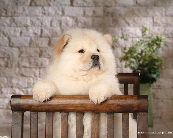 松獅犬-05.jpg