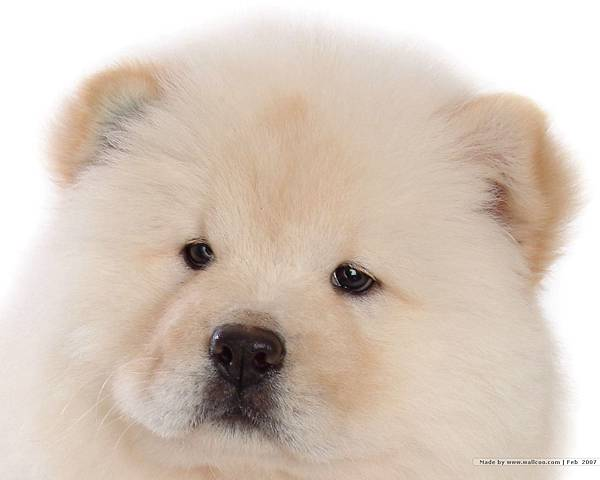 松獅犬-23.jpg