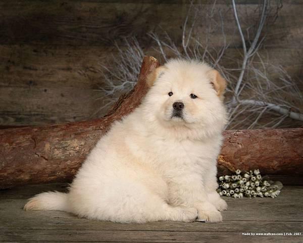 松獅犬-08.jpg