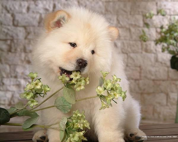 松獅犬-12.jpg