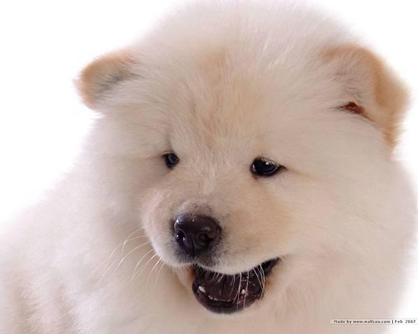 松獅犬-22.jpg