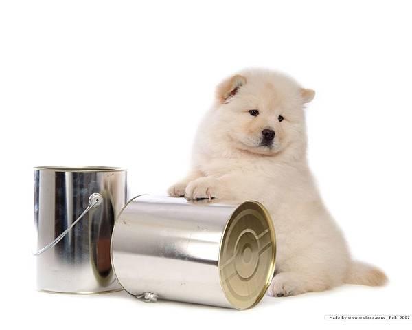 松獅犬-27.jpg