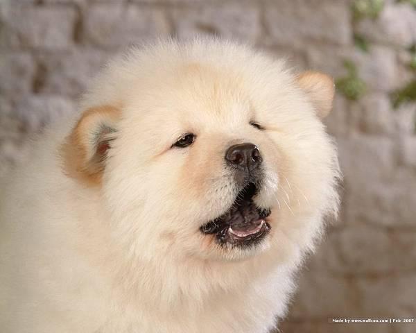 松獅犬-01.jpg